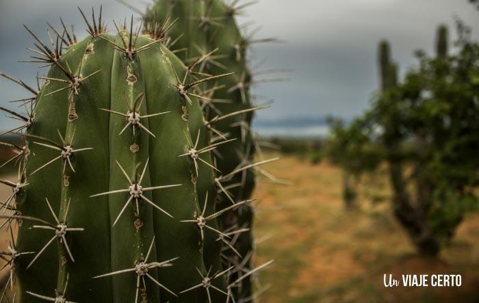 Cactus en el desierto de la Tatacoa